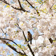 Image depicts bird perched in a blossoming tree.